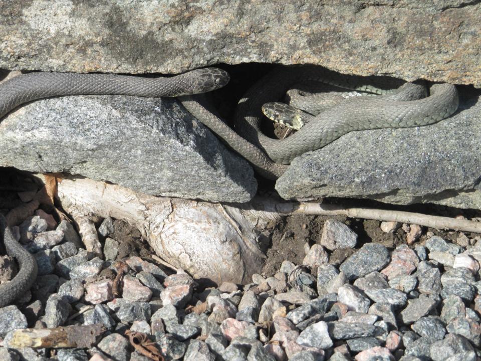 Vanlig Snok, Natrix natrix. Två individer med olika färgtyp